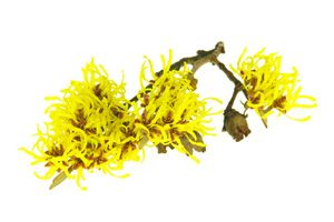 Ingrediente - Hamamelis